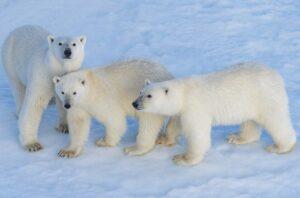 OURS-BLANC-2Mer-de-Beaufort-Arctique©StudioPONANT-Laurence-Fischer